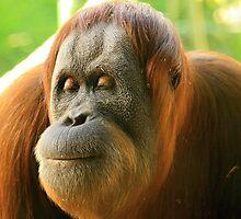mama, orang-utan. melbourne zoo by tim buckley | bodhiimages