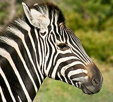 Profile of young zebra by Heather  McCann