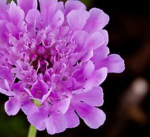 Purple Pincushion flower - Scabiosa Africana by Heather  McCann