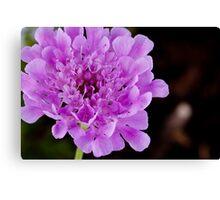 Purple Pincushion flower - Scabiosa Africana Canvas Print