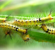 Caterpillar Colony by Vanessa Barklay