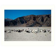 pashmina sheep Art Print