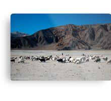 pashmina sheep Metal Print