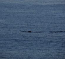 A Humpback Whale in the early Morning - Una Ballena Jorobada en la Mañana by PtoVallartaMex