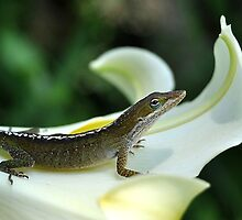 Green Anole On A White Lily by Kathy Baccari