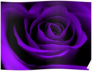 A Purple Rose. by Aj Finan