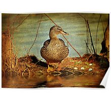 Mother Mallard With Eggs In The Cypress Swamp Poster