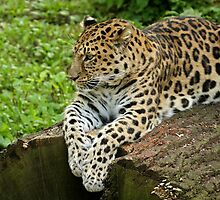Panthera Pardus Orientalis by Mark Hughes