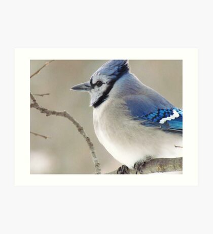 The Blue Jay Art Print