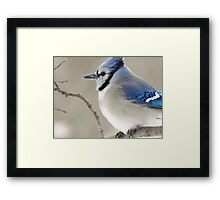 The Blue Jay Framed Print
