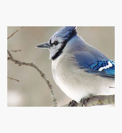 The Blue Jay Photographic Print