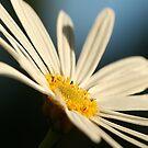 Daisy by Kezzarama