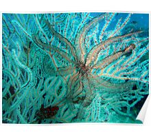 FEATHER STAR FISH Poster