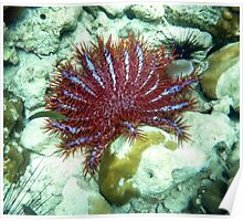 RED CROWN OF THE THORNS STAR FISH Poster