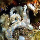 blue ring octopus by springs