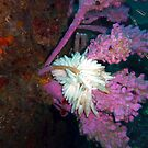 CUTTLE FISH EGGS ON SOFT CORAL by springs