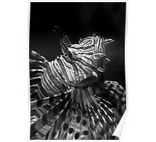 Little Lion Fish Poster