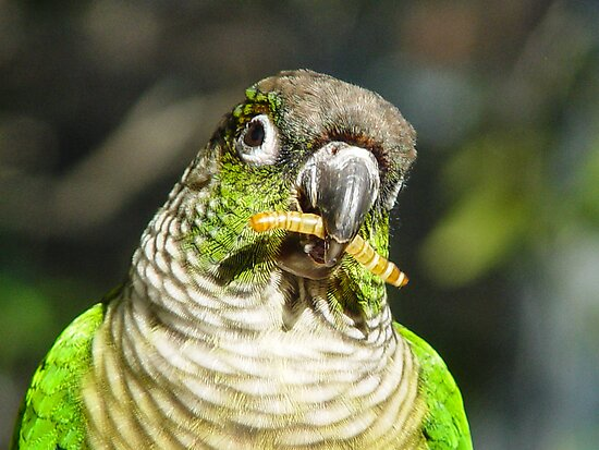 Greenie, The Friendly Parrot by Guatemwc