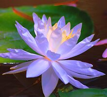 Waterlily X by loiteke