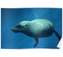 Melbourne zoo - seal Poster