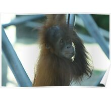 Melbourne zoo - baby monkey Poster