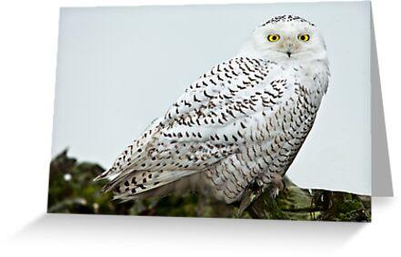 Snowy Owls by Jim Stiles