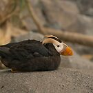 Tufted Puffin, Alaska by SusanAdey