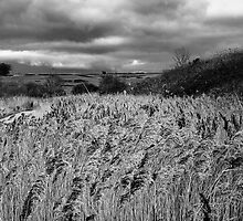 Reed beds BW by Gary Heald LRPS