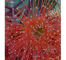 Red Flowering Gum Photographic Print