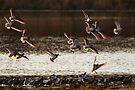 Bar-tailed Godwits by Neil Bygrave (NATURELENS)