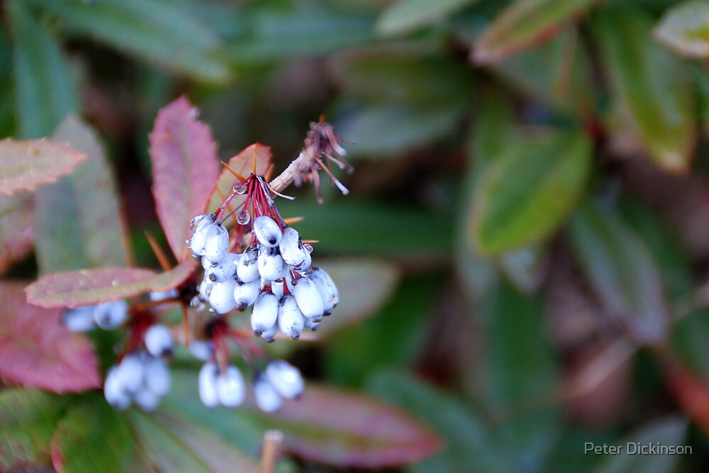Winter fruit by Peter Dickinson
