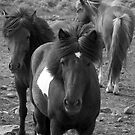Icelandic Horses II by Louise Fahy