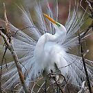Great White Egret Breeding Plumage by Kathy Baccari