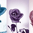 Rose - Trio by AmandaJanePhoto