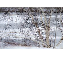 Birch in Winter Photographic Print
