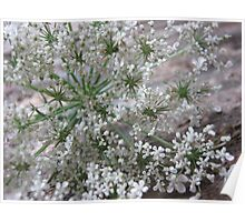 Queen Anne's Lace on Rustic Board Poster