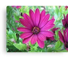 African Summer - Deep Pink Cape Daisy Canvas Print