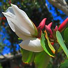 Bauhinia Flower and Buds by Geoffrey Higges
