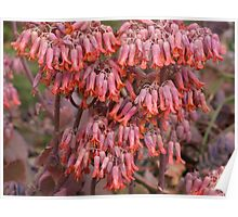 Succulent Bell Flowers Poster