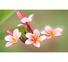 Tropical Pink - frangapani flower Photographic Print