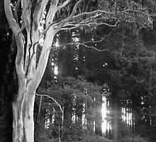 White Gum Tree by Roz McQuillan