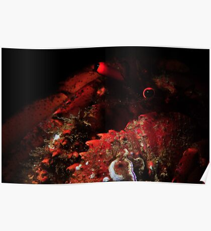 Snooted Hermit Crab Poster
