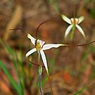 Spider Orchids by Geoffrey Higges