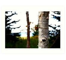 Birch Tree Trunk in Atlantic Canada Art Print