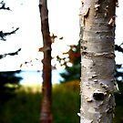 Birch Tree Trunk in Atlantic Canada by Nadine Staaf