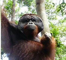 Orangutan by springs