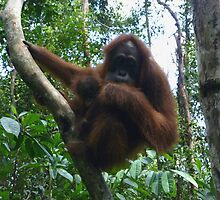 Orangutan Mother and Baby by springs