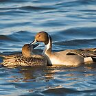 Pintails Preening by Lee LaFontaine