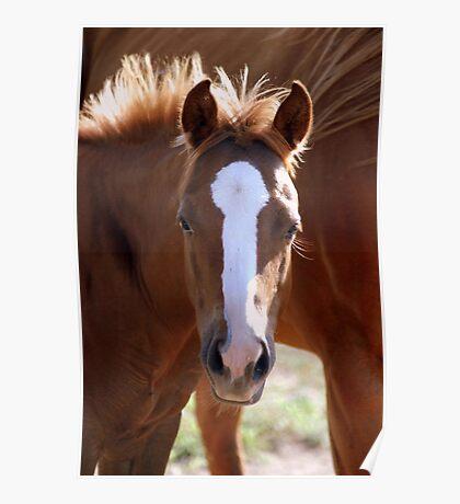 Mustang Foal Poster