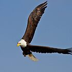 Bald Eagle - Tight Turn  by John Absher